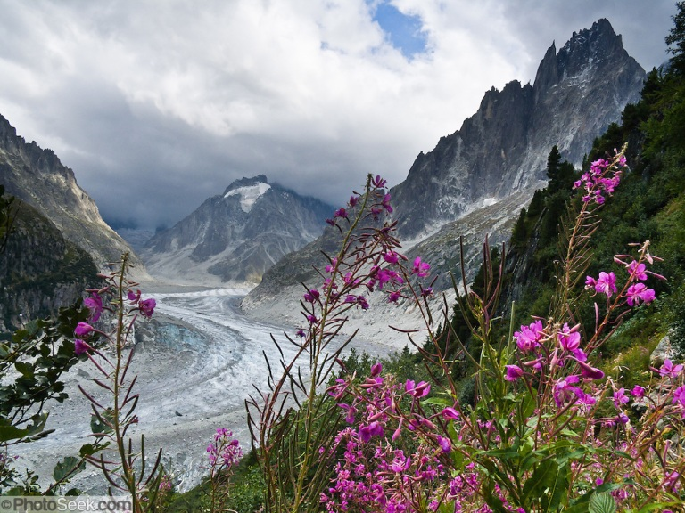 Fireweed grows by the Mer de Glace (Sea of Ice) glacier, Chamonix, France, Europe.